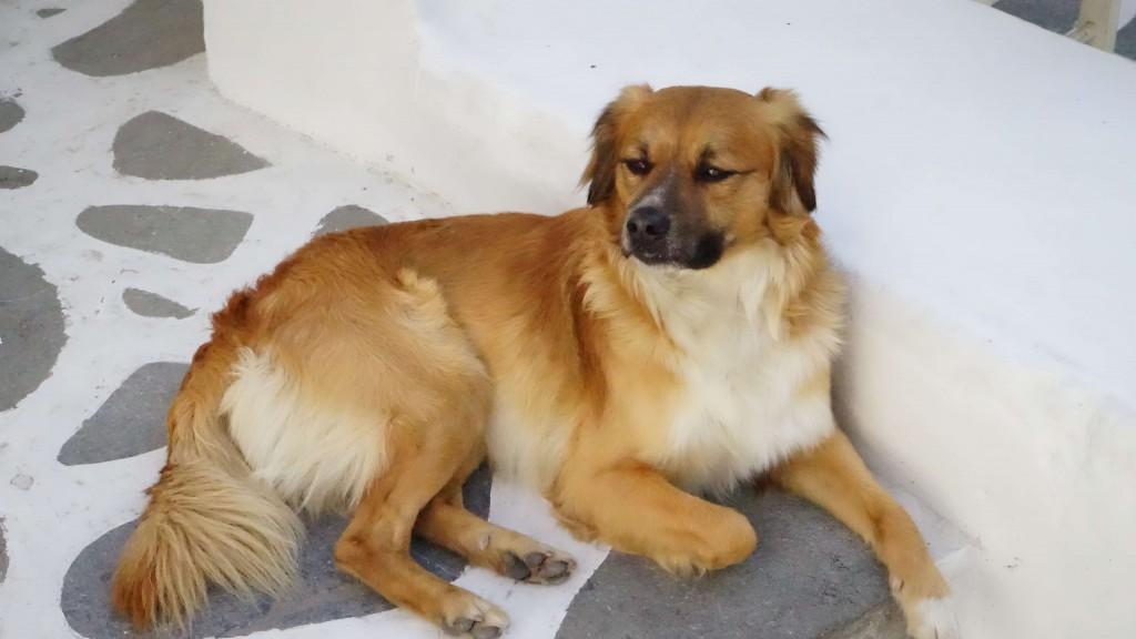 ミコノス島の犬(ギリシャ)