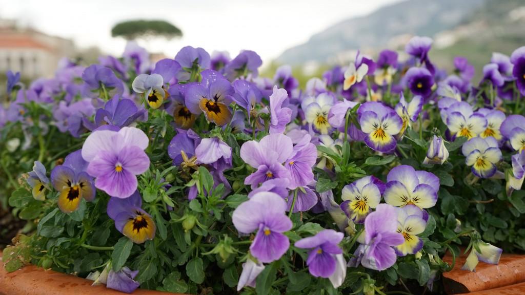 ラベッロに咲く花(イタリア)