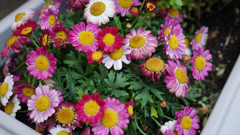 サンジミニャーノに咲く花(イタリア)